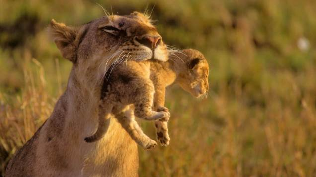 amazing-mother-lion-and-her-baby-1920x1080-1012066